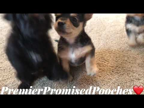 Chorkie Puppies For Sale | Indianapolis, IN #222518