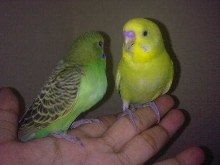 Parrots and Pets: My new Tame Budgies