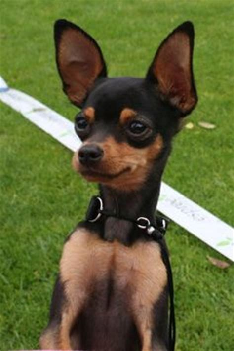 Smooth Coated Russian Toy Terrier / Russkiy Toy / Русский