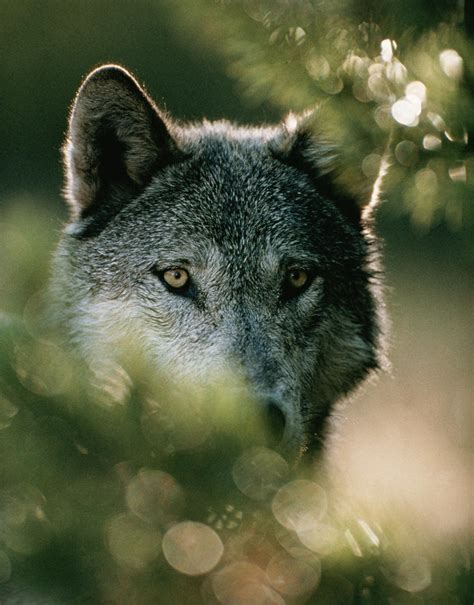 Wolves Identified by Unique Howls, May Help Rare Species