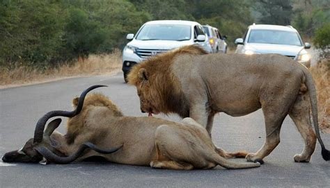 Watch: Lions killing kudu in the Kruger National Park [video]