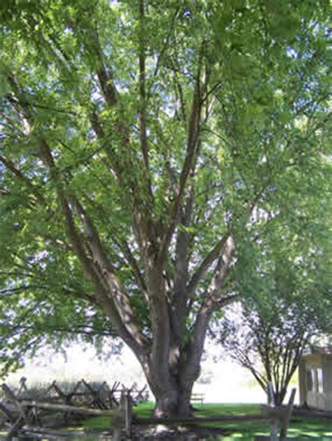 Silver Maple (Acer saccharinum) - Whitman Mission National