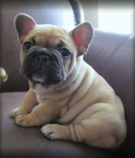 10 French Bulldogs To Make You Feel Fuzzy - I Heart Pets