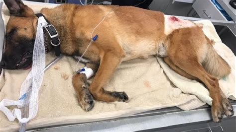 Hero police dog shot, credited with taking bullet meant
