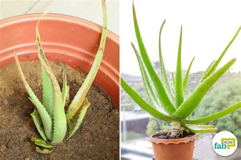 How to Revive a Wilted Aloe Vera Plant   Fab How