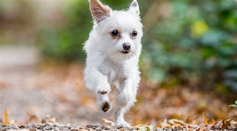 Chihuahua Yorkie Mix: Chorkie Breed Information, Puppy