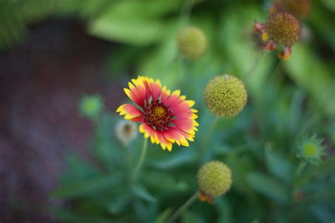 Red and Yellow Multi Petal Flower · Free Stock Photo