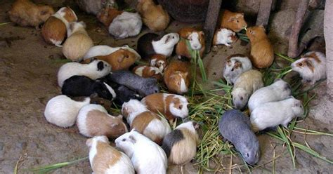 Guinea pigs overrun owner's home: 100 pets removed from
