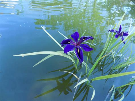 How to grow and care for iris | lovethegarden