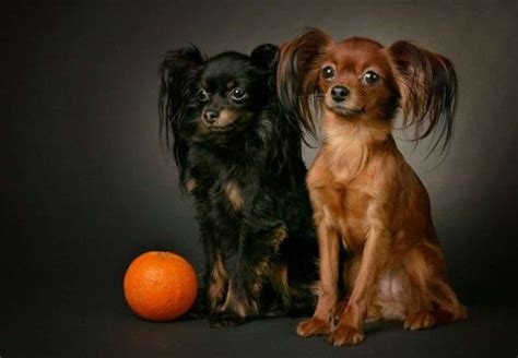 17 Best images about Russian Toy Terrier on Pinterest