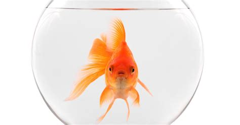 Owning one pet goldfish is illegal in Switzerland - and